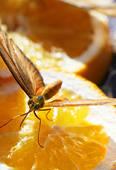Stock Photo of Julia Longwing Butterfly k0801194.