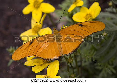 Stock Photo of Bright Orange Julia Butterfly on Yellow Flowers.
