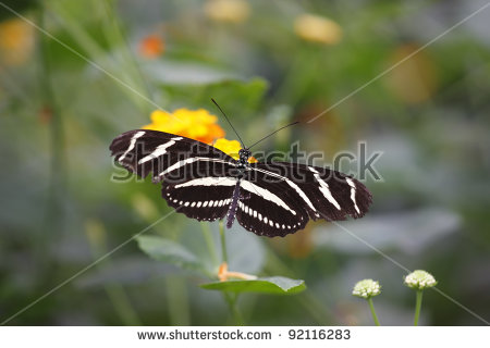 Longwing Butterfly Stock Photos, Royalty.