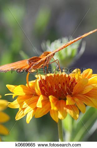 Stock Image of Julia Longwing Butterfly k0669665.