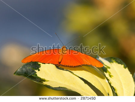 Julia Longwing Stock Photos, Images, & Pictures.
