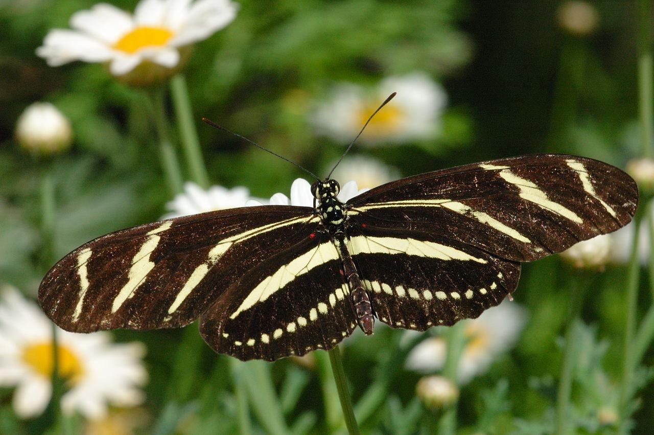 Julia & Zebra Longwing Butterfly Pictures.