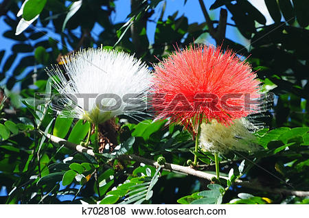 Pictures of Persian silk tree (Albizia julibrissin) k7028108.