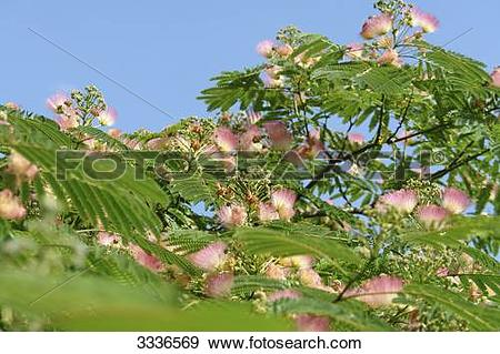 Stock Photograph of Persian Silk Tree (Albizia julibrissin.