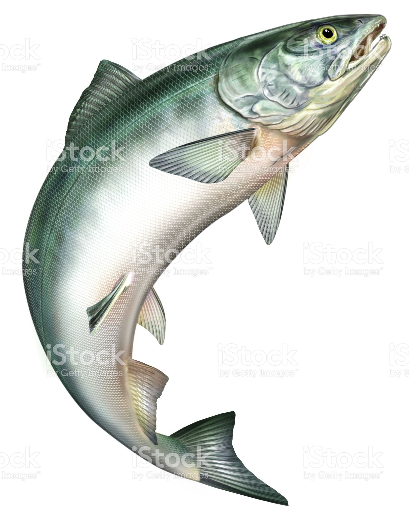 Salmon jumping.
