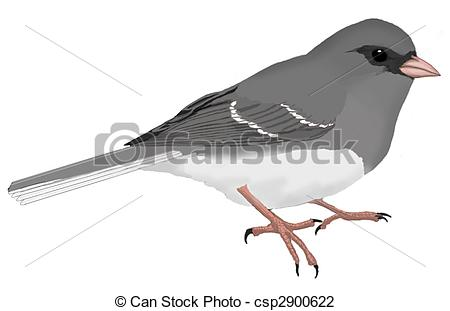 Junco Illustrations and Stock Art. 6 Junco illustration and vector.