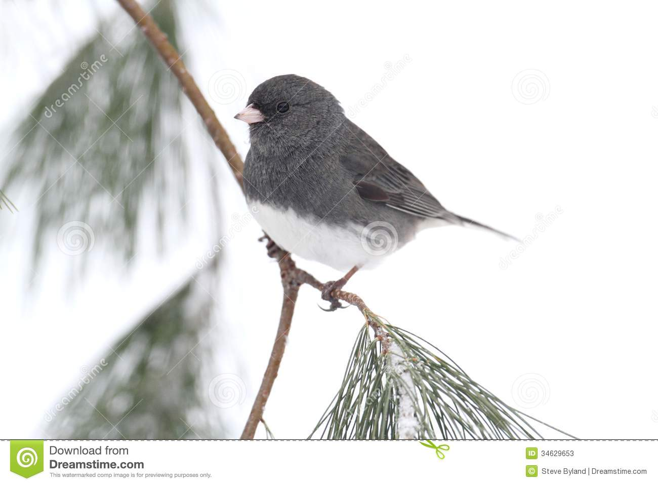 Junco On A Snow.