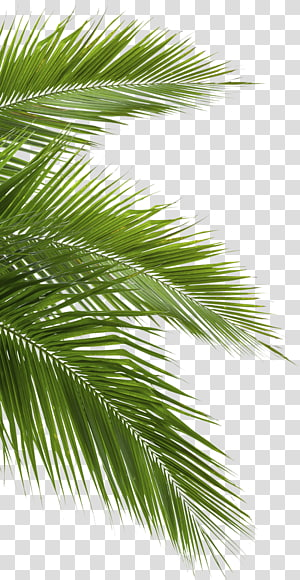 Palm Leaves PNG clipart images free download.