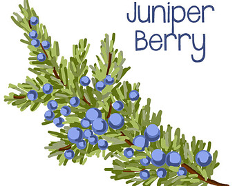 Berry clipart juniper berry, Berry juniper berry Transparent.