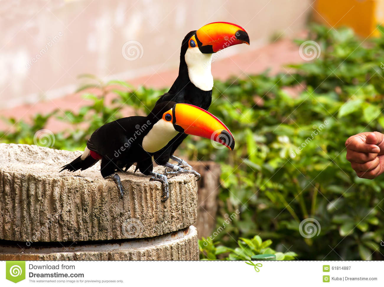 Two Toucans (Ramphastinae) At Jurong Bird Park In Singapore Stock.