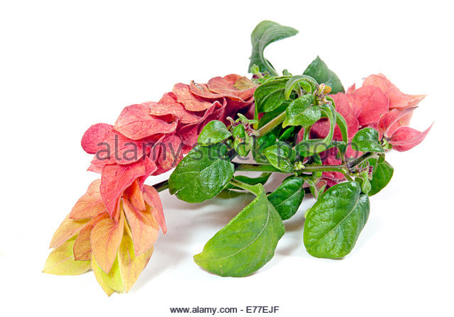 Yellow Shrimp Plant Stock Photos & Yellow Shrimp Plant Stock.