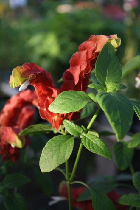 Red Shrimp Plant, False Hope, Shrimp Plant, Shrimp Bush,Justicia.