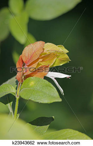 Stock Photo of Shrimp Plant, Justicia brandegeana k23943662.