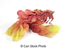 Stock Photography of Shrimp Plant, Justicia brandegeana.