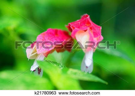 Stock Photo of Justicia brandegeana, Acanthaceae k21780963.