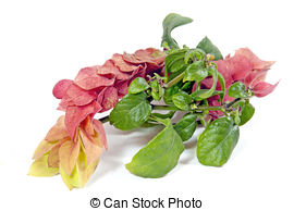 Stock Images of Shrimp Plant, Justicia brandegeana.