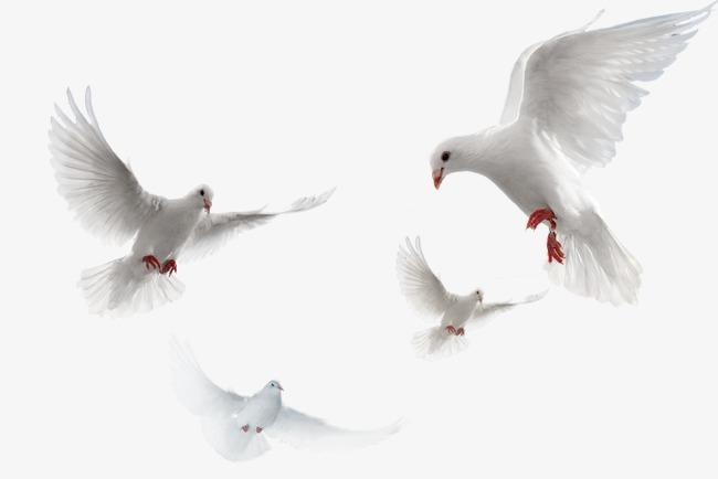 Pigeons HD PNG Transparent Pigeons HD.PNG Images..