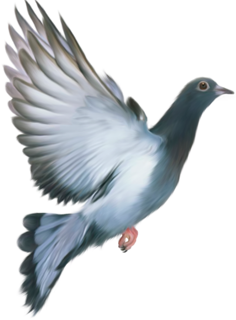 Flying Pigeon PNG Bird PNG Transparent Image HD Vector (75).