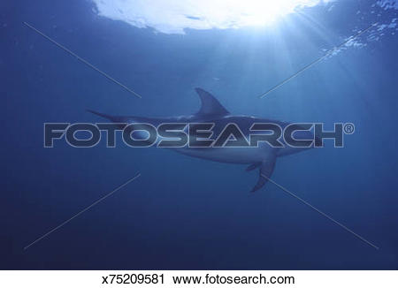 Stock Photography of dusky dolphin lagenorhynchus obscurus.