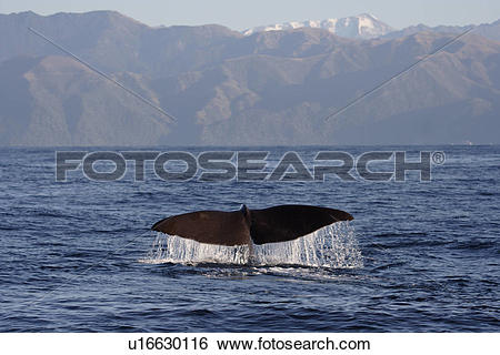 Stock Images of Sperm whale (Physeter macrocephalus) diving.