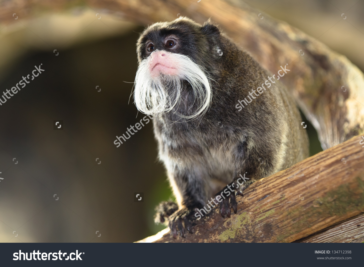 Little Bearded Monkey Saguinus Imperator Kaiserschnurrbarttamarin.