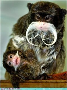 Super Cute and Funny Baby Emperor Tamarin Monkey.