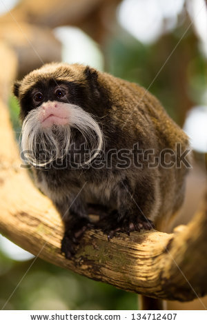 Saguinus Imperator Stock Photos, Royalty.