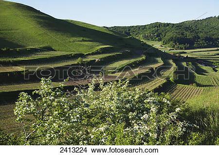 Stock Photo of Vineyard near Vogtsburg, Kaiserstuhl Region; Black.