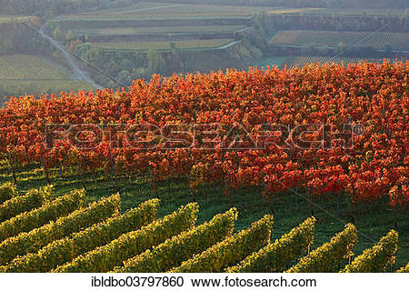 """Stock Photography of """"Autumnal vineyard in the Kaiserstuhl hills."""