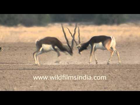 Wildlife of Tal Chappar Sanctuary, Rajasthan.