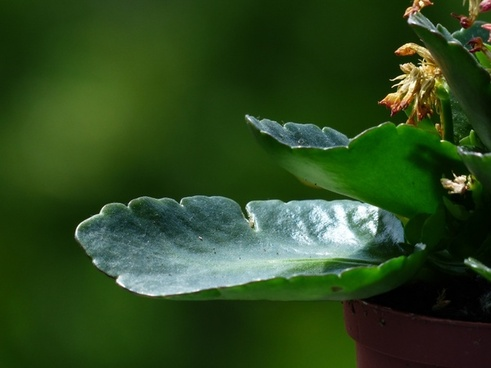 Kalanchoe globulifera free stock photos download (10 Free stock.