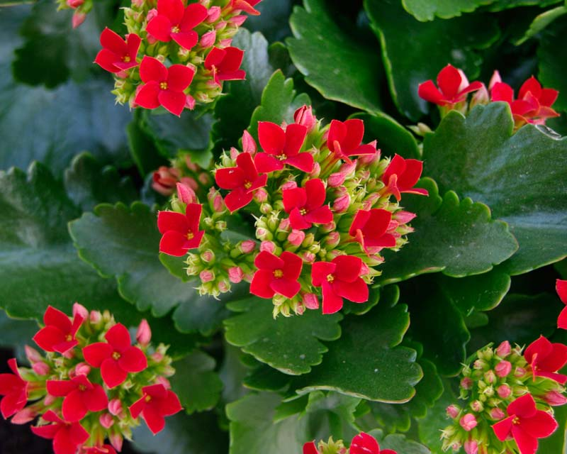Plants & Flowers » Kalanchoe globulifera.
