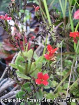 Kalanchoe blossfeldiana.