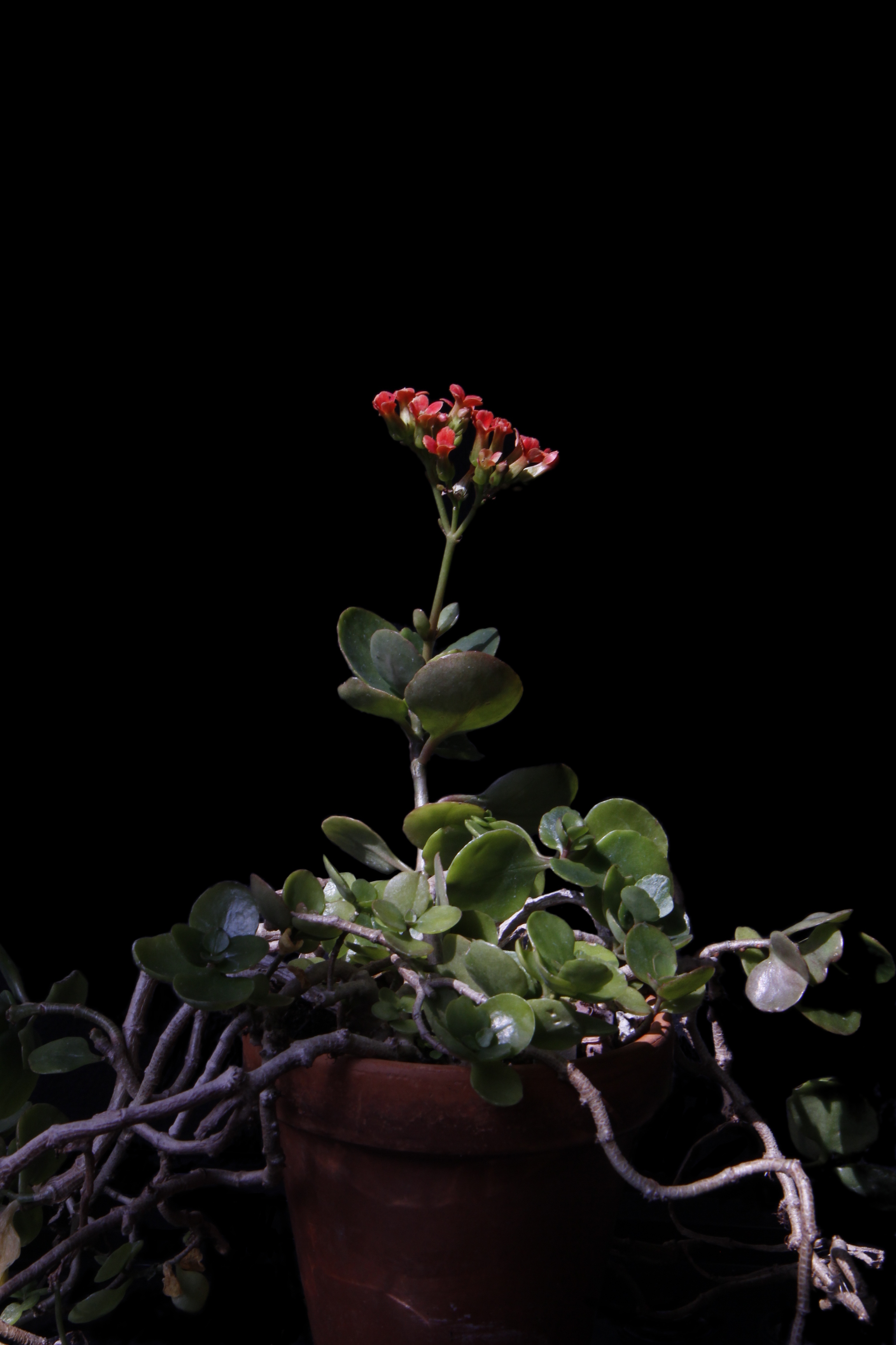 Kalanchoe blossfeldiana {Crassulaceae} Flaming Katy, Christmas.