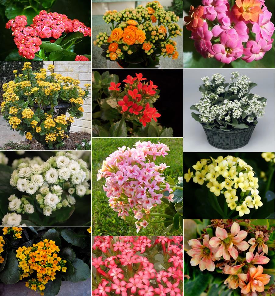 Plants & Flowers » Florist Kalanchoe.
