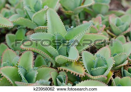 Stock Photo of Kalanchoe pinnata plant k23958062.