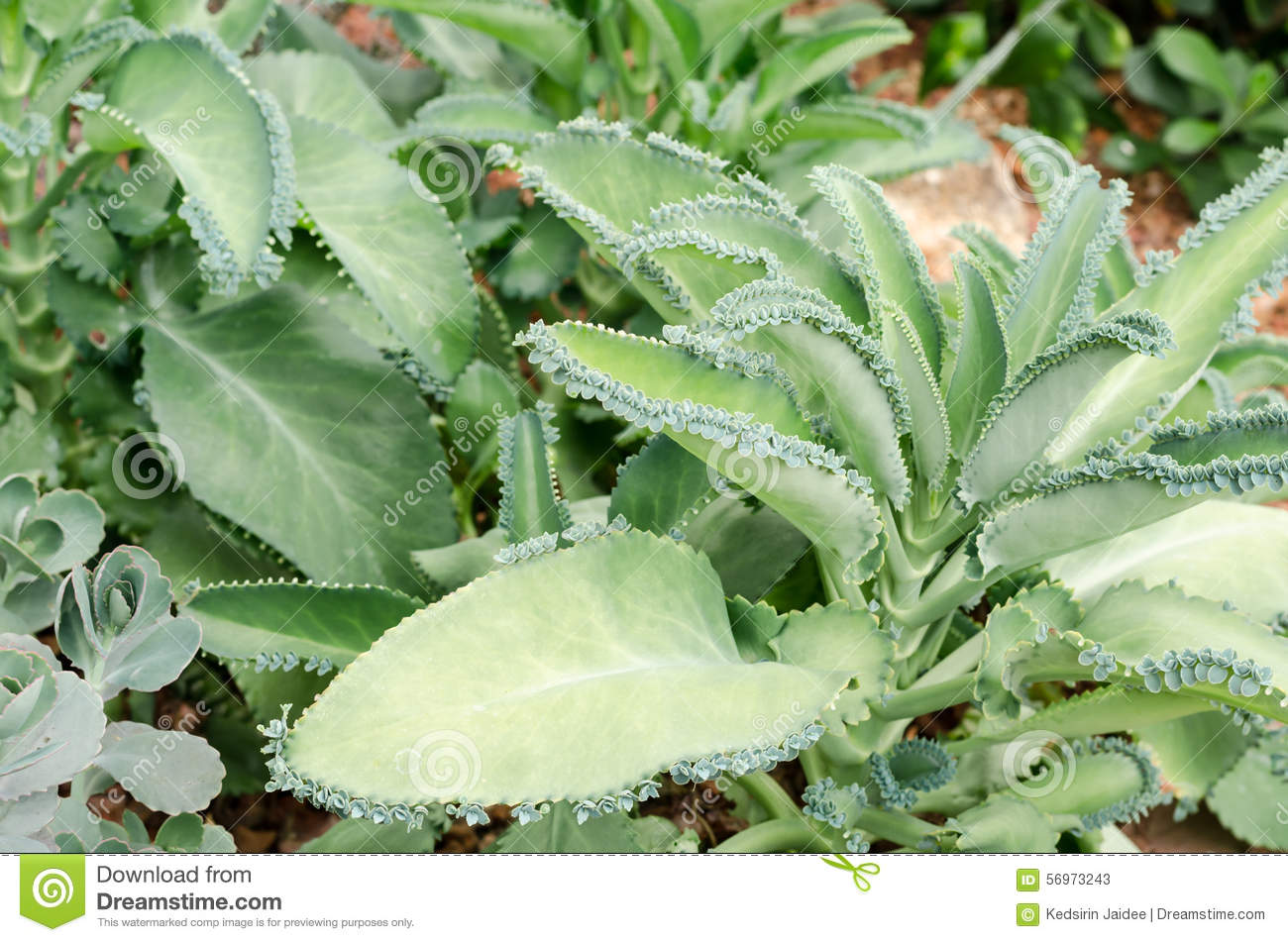 Kalanchoe Pinnata,Succulent Plants In Garden Stock Photo.
