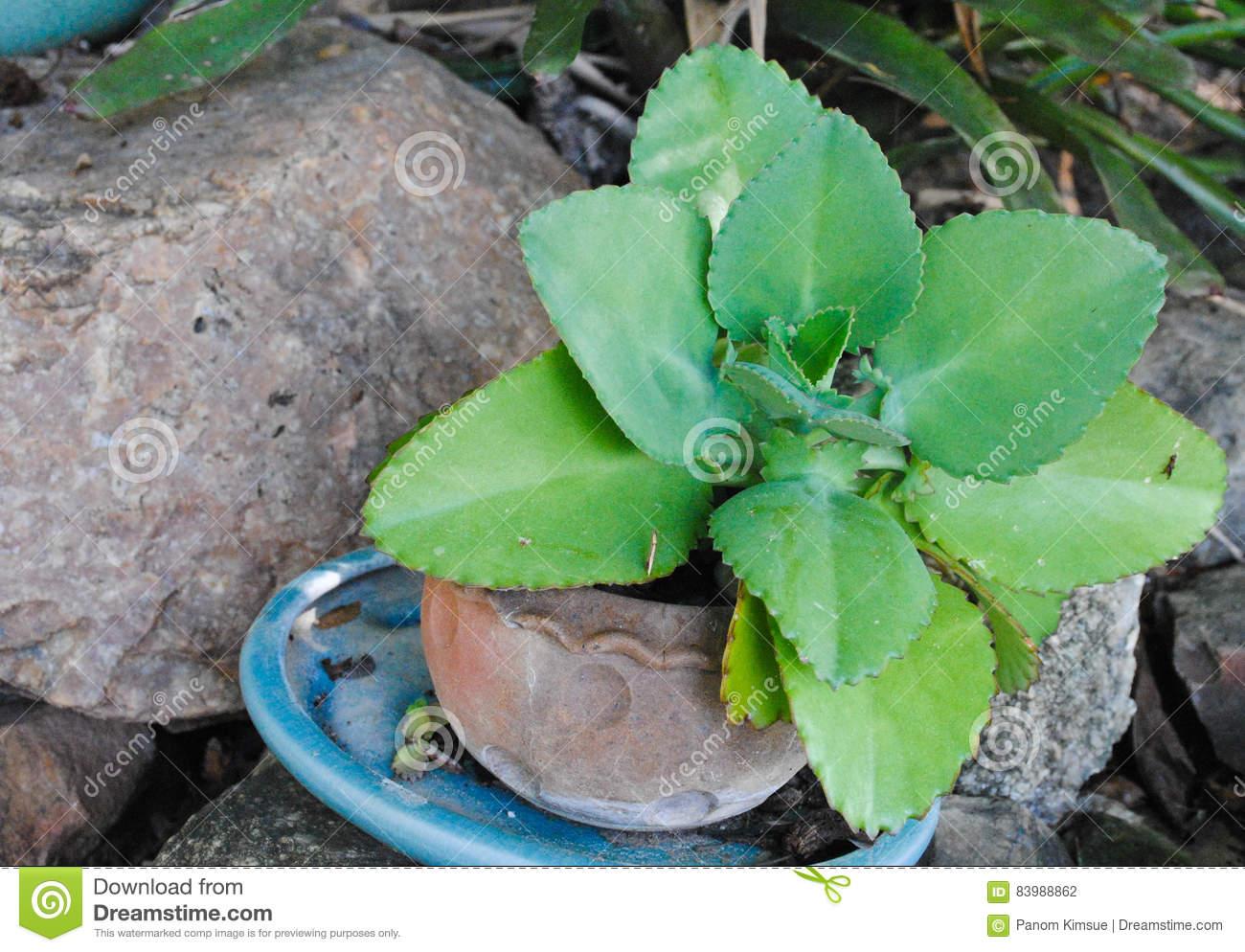 Kalanchoe Pinnata Or Crassulaceae Or Bryophyllum Daigremontiana.