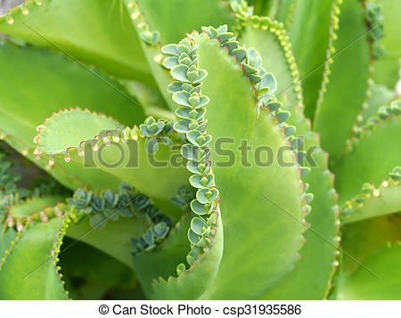 Pictures of Close up of Kalanchoe pinnata plant csp31935586.