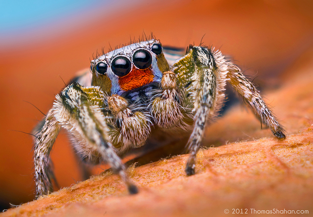 Male Habronattus virgulatus Jumping Spider.