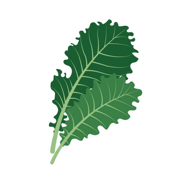 Best Kale Illustrations, Royalty.