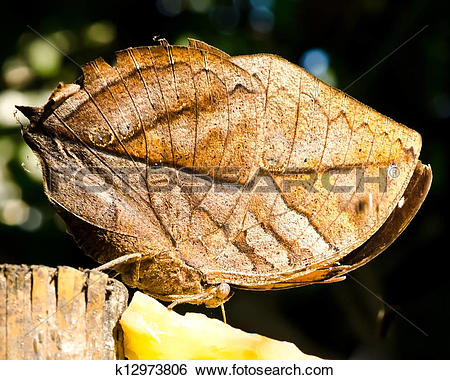 Stock Images of leaf butterfly (Kallima inachus) k12973806.