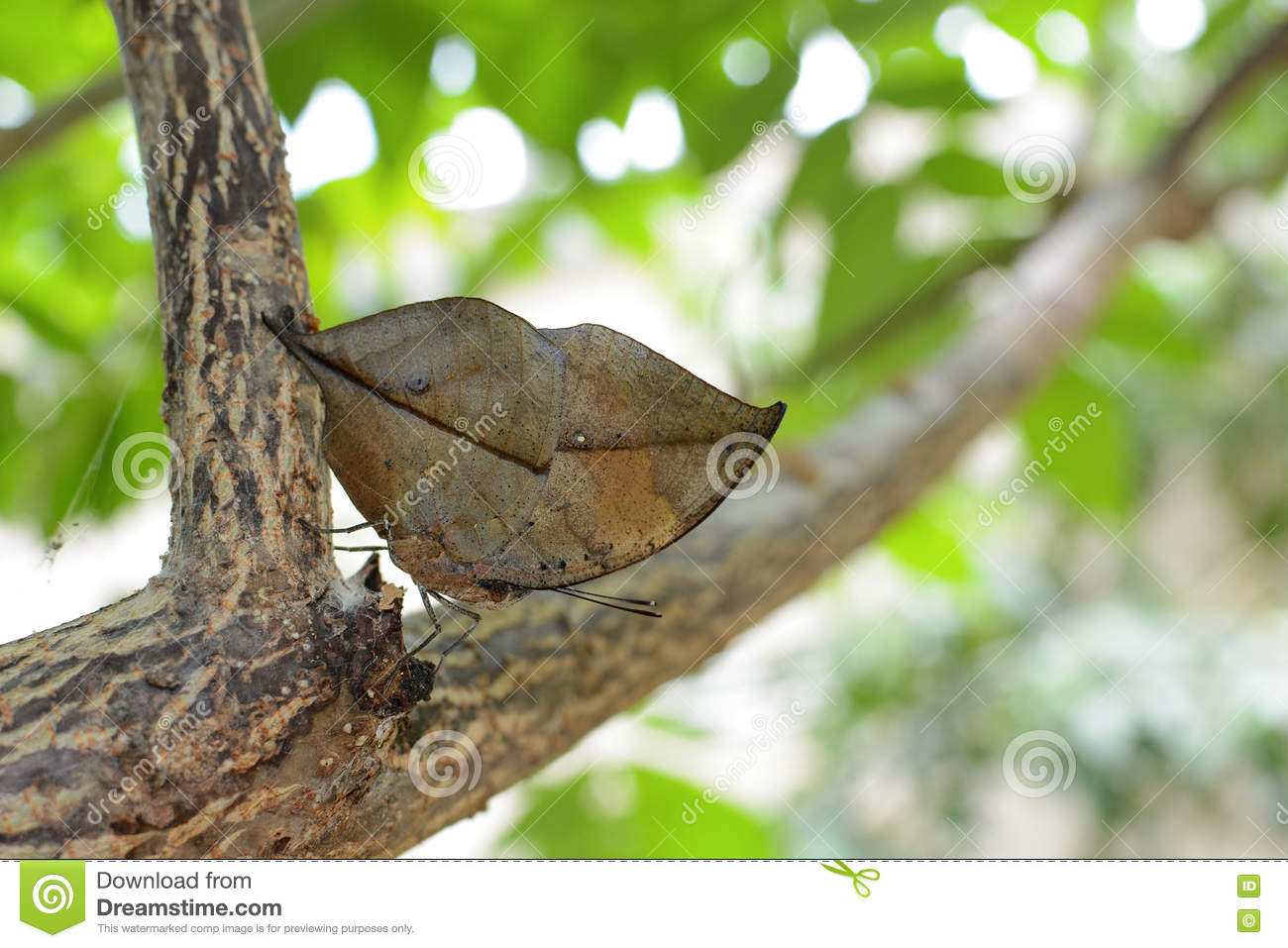 Orange Oakleaf Butterfly Displaying Near Perfect Immitation Of An.