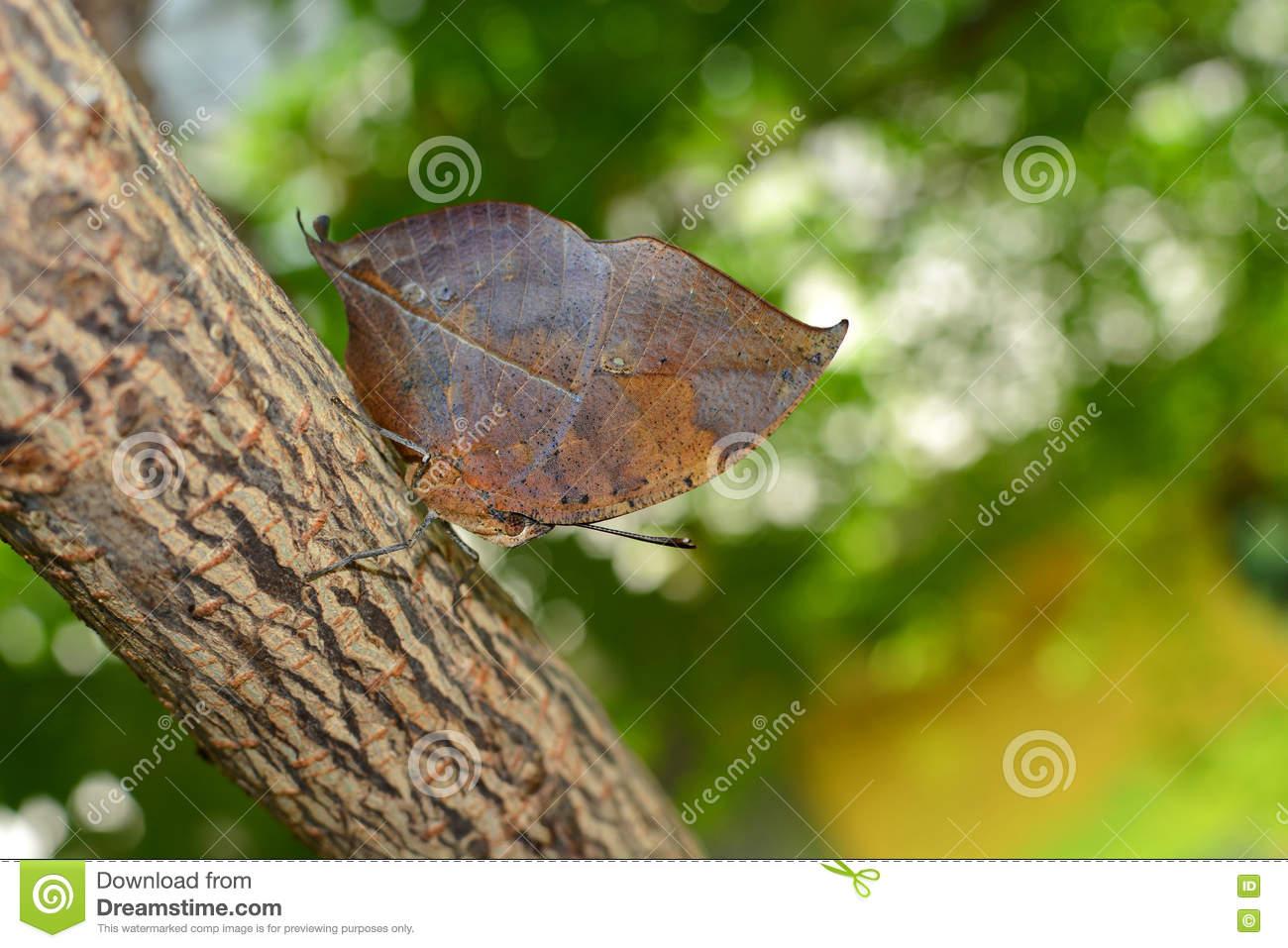 Orange Oakleaf Butterfly With Oak Leaf Camouflage Adaptation.