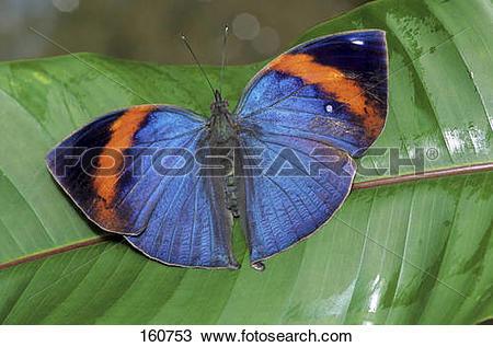 Stock Photo of Orange Oakleaf on a leaf / Kallima inachus 160753.