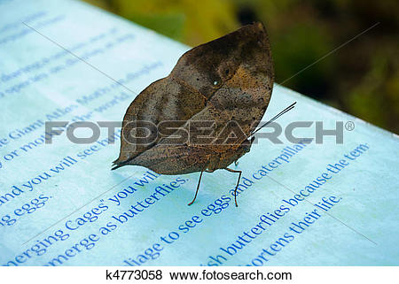 Pictures of Indian Leaf Butterfly in Captivity. (Kallima inachus.