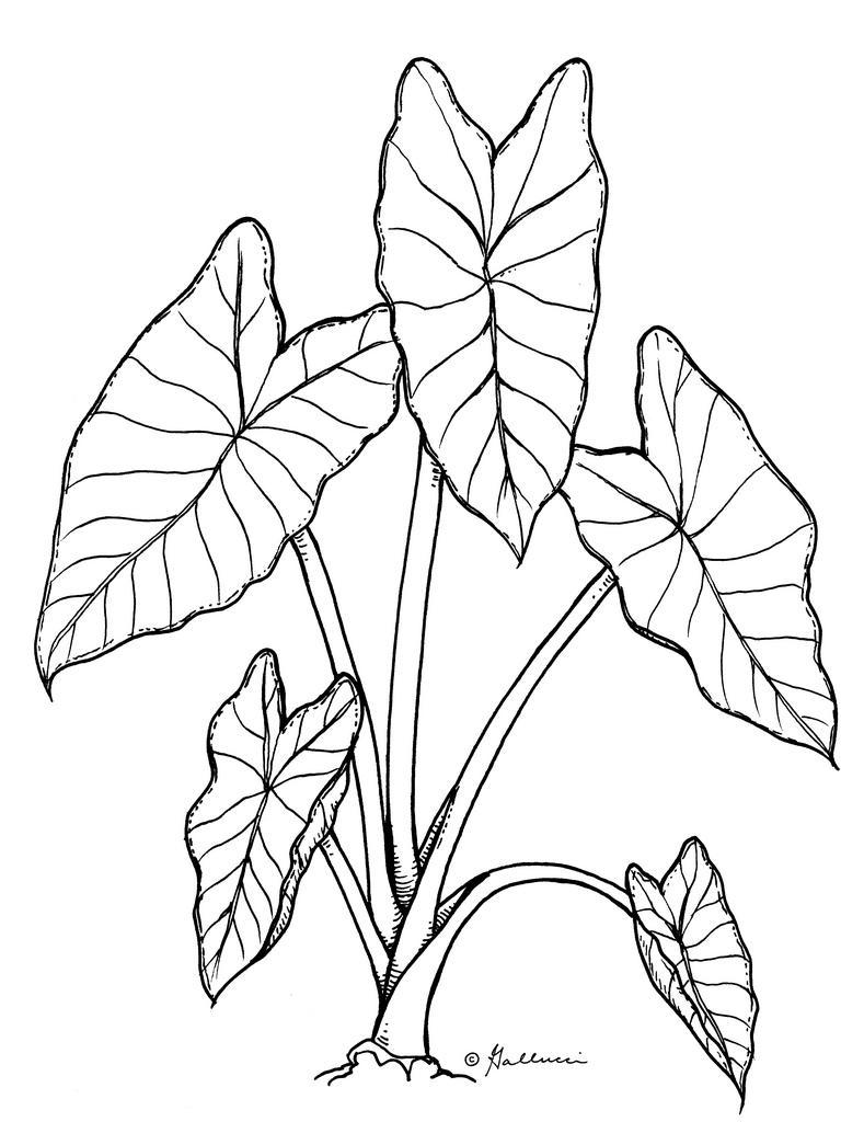 Free Taro Plant Cliparts, Download Free Clip Art, Free Clip Art on.