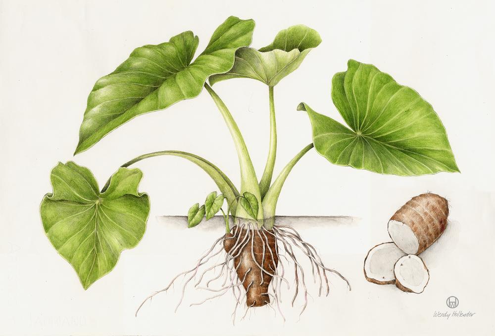 Taro Plant Cliparts.