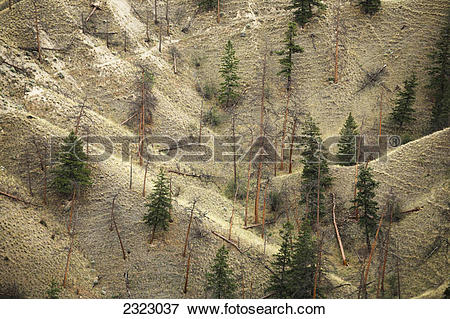 Picture of Dry grassy slopes spotted with pine trees;Kamloops.
