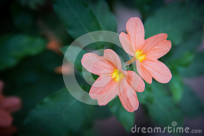 Crossandra Flower Stock Photos, Images, & Pictures.